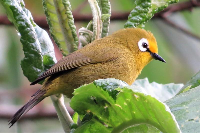 Montane White-eye (Zosterops kikuyuensis)