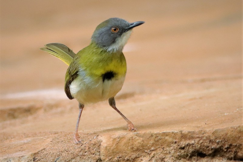 Yellow-breasted Apalis (Apalis flavida)