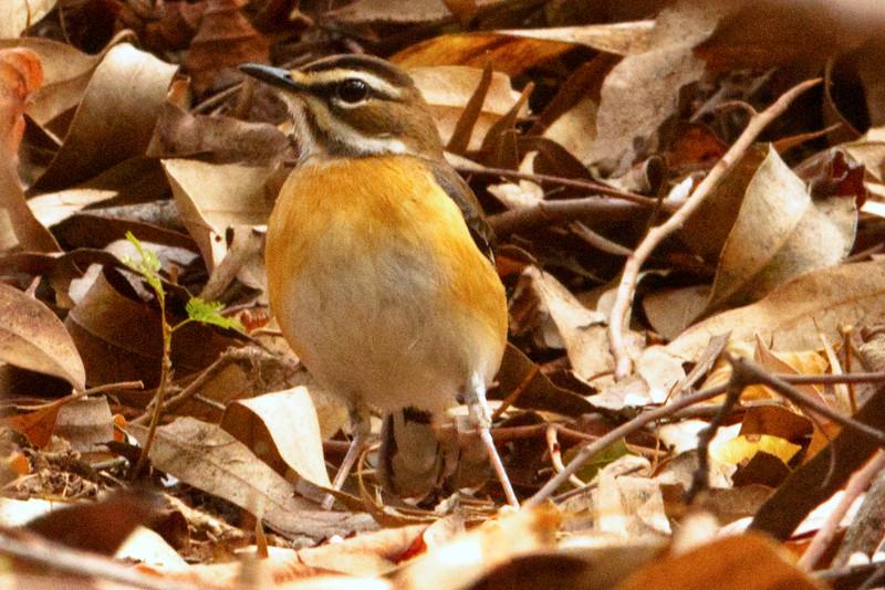 Eastern Bearded Scrub-robin (Tychaedon quadrivirgata)