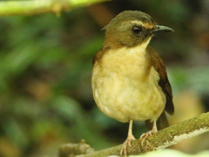 Brown-chested Alethe (Chamaetylas poliocephala)
