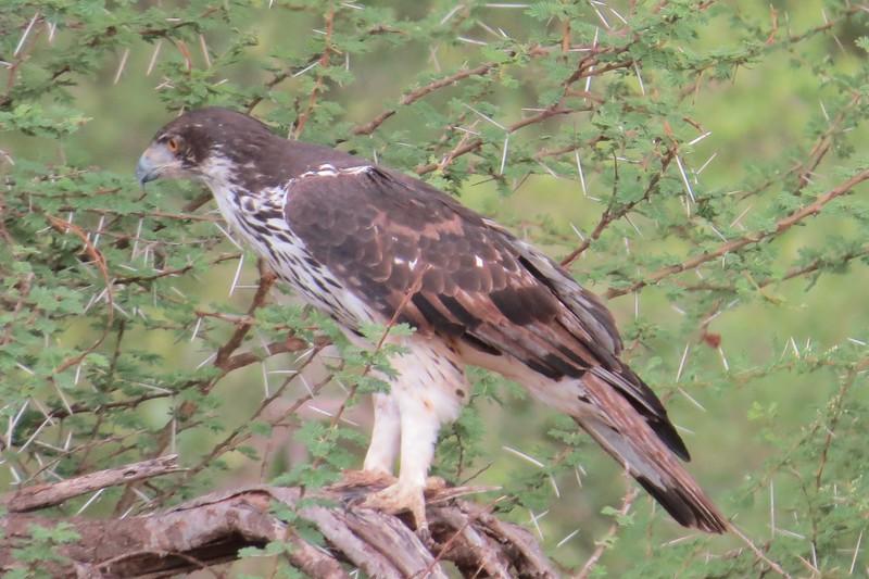 African Hawk-eagle (Aquila spilogaster)
