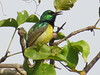 Collared Sunbird (Anthodiaeta collaris)