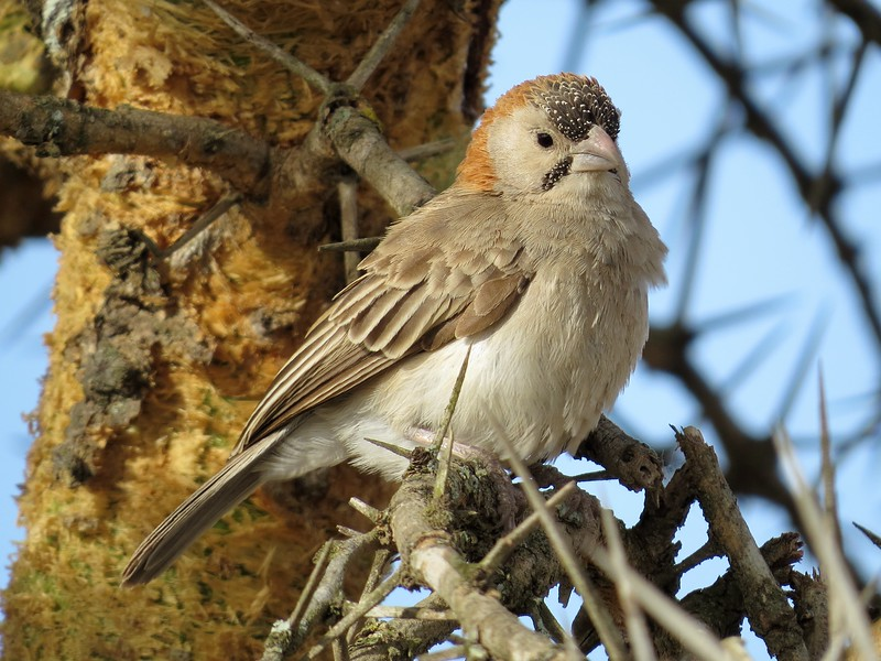 Speckle-fronted Weaver (Sporopipes frontalis)