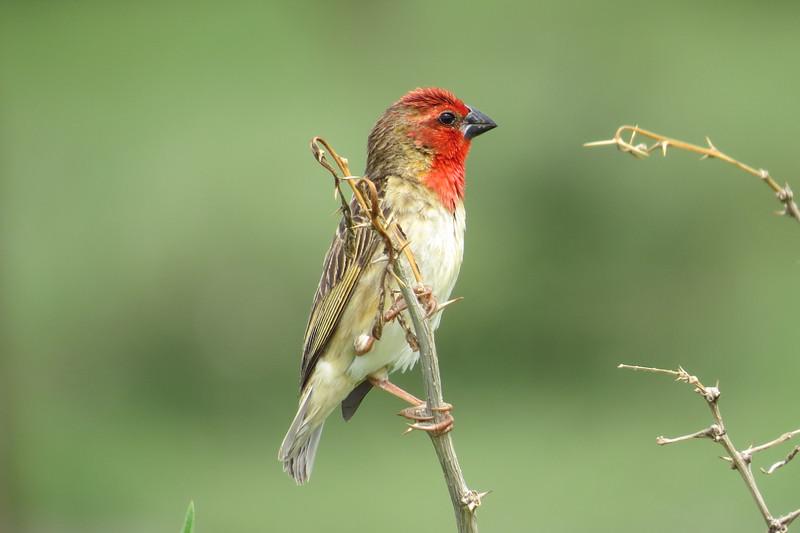Cardinal Quelea (Quelea Cardinalis)