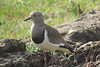 Greater Black-winged Lapwing (Vanellus melanopterus)