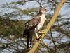Crowned Eagle (Stephanoaetues coronatus)