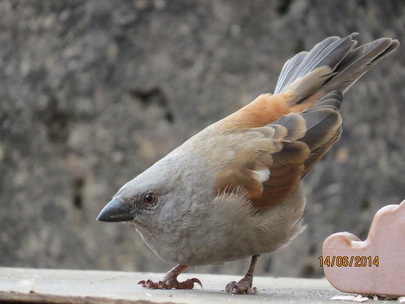 Parrot billed Sparrow (Passer gongonensis)