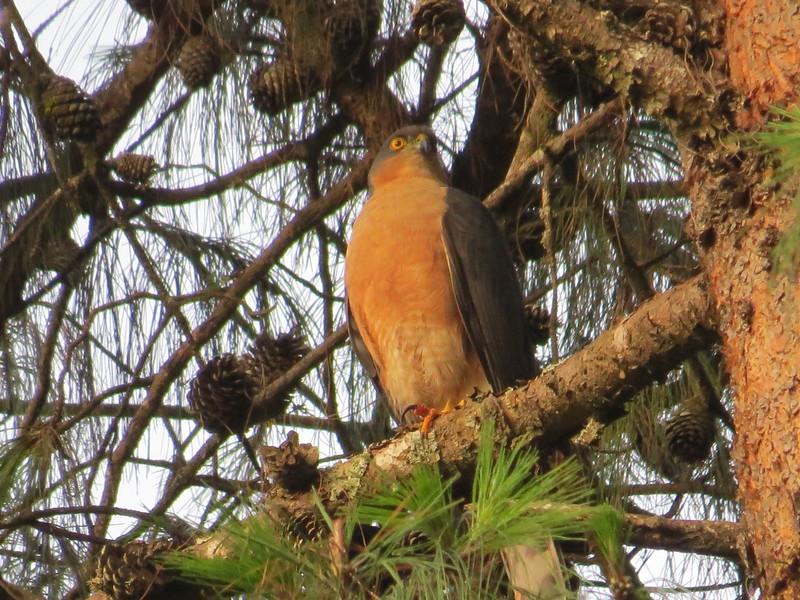 Rufous-breasted Sparrowhawk (Accipiter rufiventris)