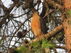 Rufous-breasted Sparrowhawk (Accipiter rufiventris)