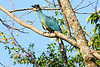 Great Blue Turaco (Corythaeola cristata)