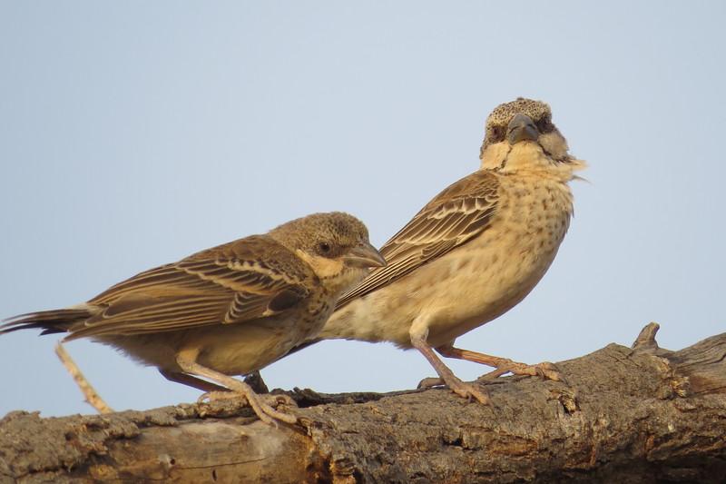 Donaldson-Smith's Sparrow Weaver (Plocepasser donaldsoni)