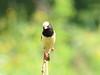 Straw-tailed Whydah (Vidua fischeri)