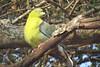 African Green-pigeon (Teron calva)