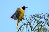 Eastern Black-headed Oriole (Oriolus larvatus)