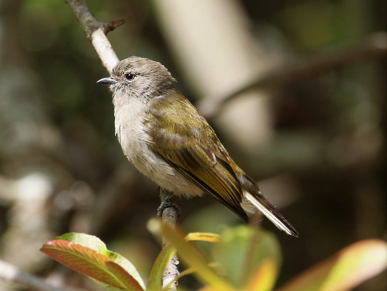 Green-backed Honeybird (Prodotiscus zambesiae)