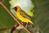 Northern Brown-throated Weaver (Ploceus castanops)