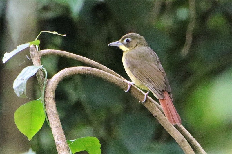 Red-tailed Bristlebill (Bleda syndactylus)