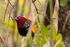 Peter's or Red-throated Twinspot (Hypargos niveoguttatus)