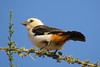 White-headed Buffalo-Weaver (Dinemellia dinemelli)