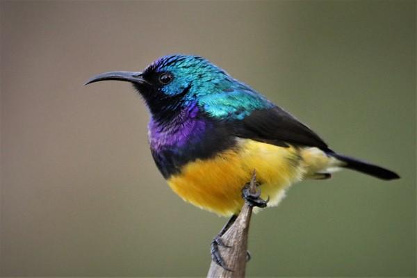 Variable Sunbird (Cynnyris venustus)