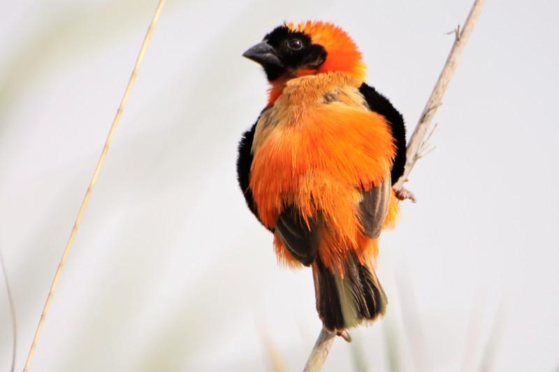 Southern Red Bishop (Euplectes orix)