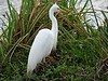 Yellow-billed Egret  (Ardea brachyrhyncha)