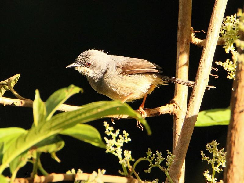 White-chinned Prinia (Schistolais leucopogon)