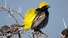 Yellow-crowned Bishop (Eupelectes afer)
