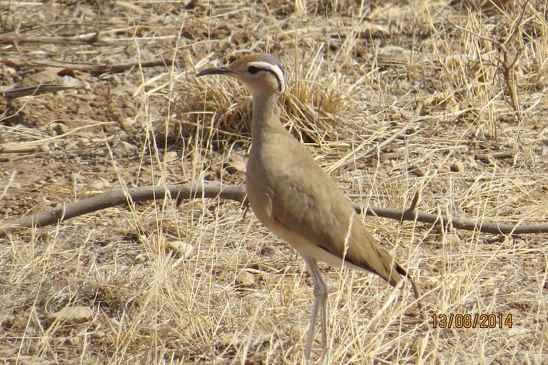 Somali Courser (Cursorius somalensis)