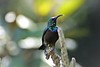 Orange-tufted Sunbird (Cinnyris bouvieri)