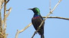 Common Purple-banded Sunbird (Cinnyris bifsciatus)