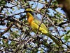 Sulfur-breasted Bush-shrike (Chlorophoneus sulfureopectus)