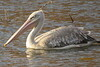 Pink-backed Pelican (Pelecanus rufescens)