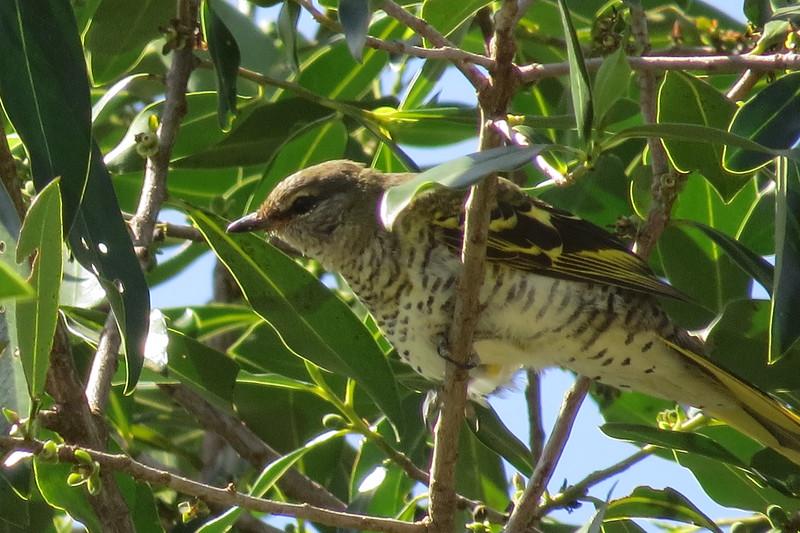 Black Cuckoo-shrike (Campehaga flava)