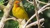 African Golden Weaver (Ploceus subaureus)