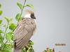 Bare-faced Go-away-bird (Corythaixoides personatus)