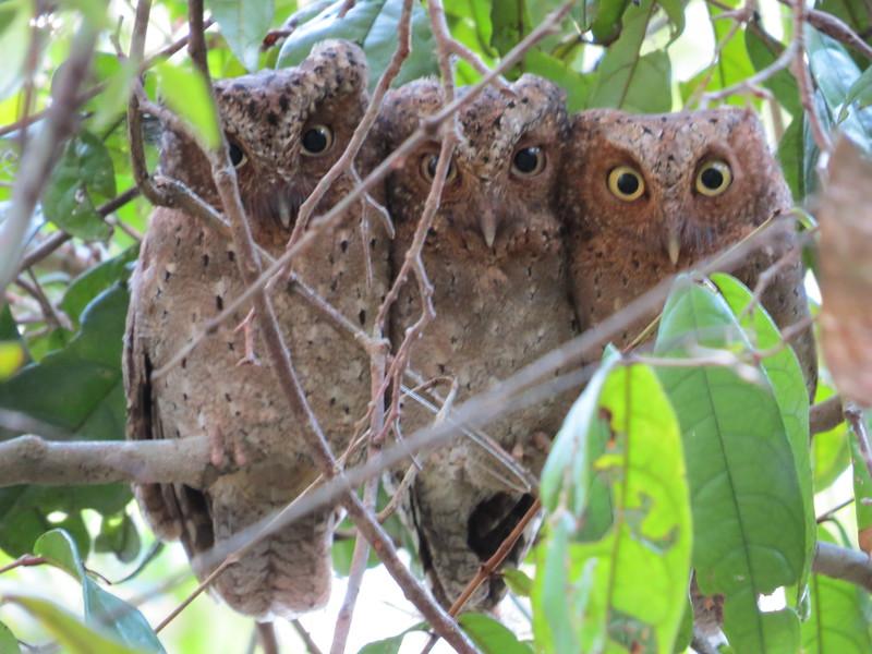 Sokoke Scops-owl (Otus ireneae)