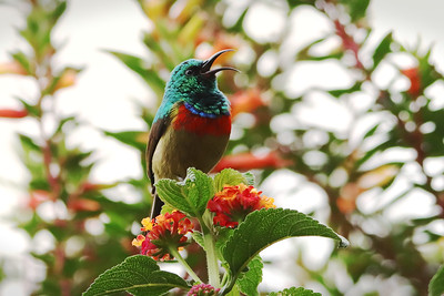 Eastern Double-collared Sunbird (Cynniris mediocris)