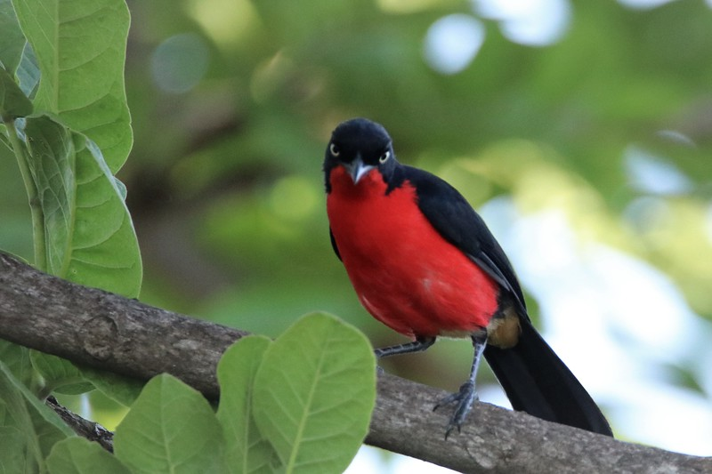 Black-headed Gonolek (Laniarius erythrogaster)