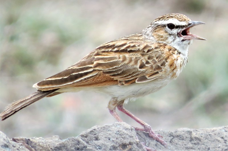 Fawn-coloured Lark (Mirafra africanoides)