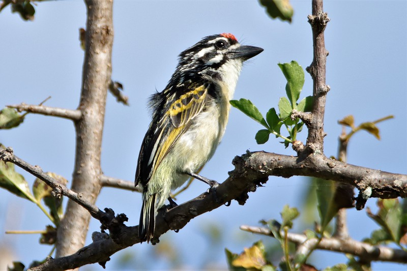 Red-fronted Tinkerbird (Pogoniulus pusillus)