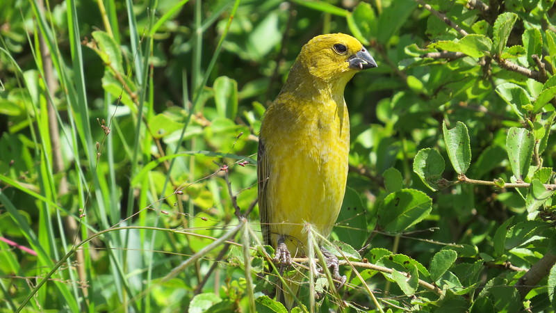 Cuckoo Finch (Anamalospiza imberbis)