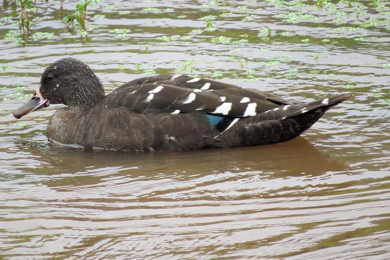 African Black Duck (Anas sparsa)