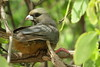 White-headed Mousebird (Colius leucocephalus)
