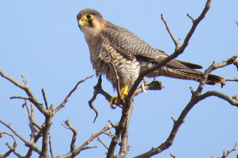 Red-necked Falcon, (Falco chicquera)