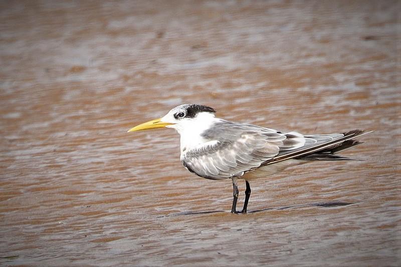 Swift Tern (Thalasseus bergii) or Greater-crested Tern