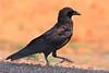 Dwarf Raven (Corvus edithae)