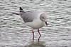 Grey-headed Gull (Larus cirrocephalus)
