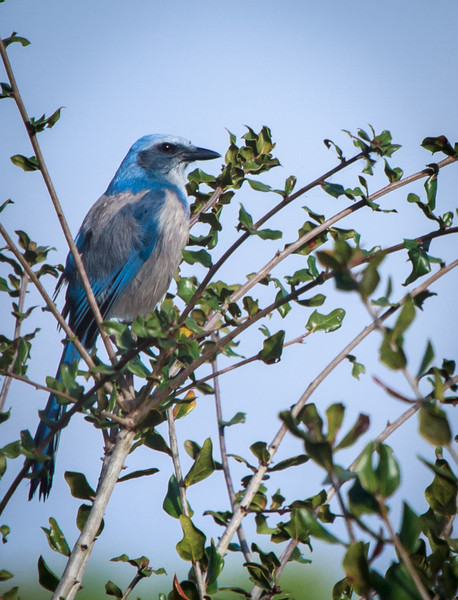 Male Florida Scrub Jay