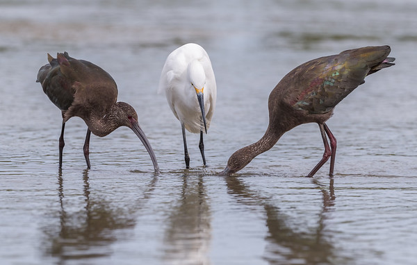Two White-faced Ibis and a not paticularly happy Snowy Egret